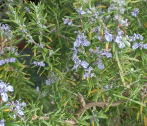 Rosemary - a powerful protector