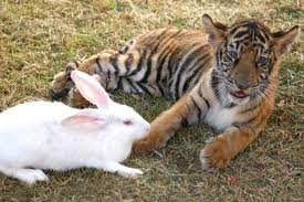 Chinese Year of the Rabbit and tiger